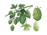 Hop ((Humulus Lupulus) Giclee Print by Giglioli E.