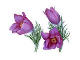Pasque Flower (Anemone Pulsatilla) Giclee Print by Giglioli E.