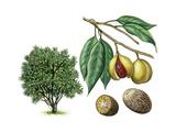 Nutmeg (Myristica Fragrans) Giclee Print by Giglioli E.