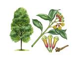 Clove (Syzygium Aromaticum) Giclee Print by Giglioli E.