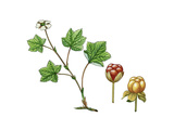 Cloudberry (Rubus Chamaemorus) Giclee Print by Giglioli E.