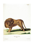 Lion from group of color lithographs of African animals, 19th c. Poster