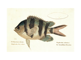 Cobra Fish, from group of color lithographs of fishes animals, 1830. Poster