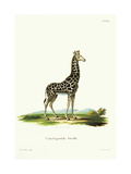 Giraffe from group of color lithographs of African animals, 18th c. Poster