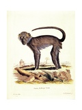 Monkey, from group of color lithographs of African animals, 19th c. Posters