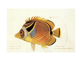 Butterfly Fish, from group of color lithographs of fishes animals, 1830. Affiches