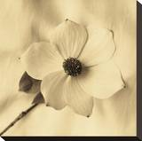Sepia Dogwoods IV Stretched Canvas Print by Heather Johnston