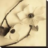 Sepia Dogwoods III Lærredstryk på blindramme af Heather Johnston
