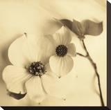 Sepia Dogwoods II Stretched Canvas Print by Heather Johnston