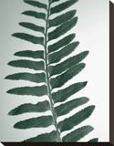 Fern Detail I Stretched Canvas Print by Boyce Watt