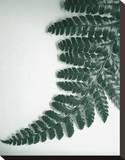 Fern Leaf II Stretched Canvas Print by Boyce Watt