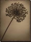 Allium I Trykk på strukket lerret av Heather Jacks
