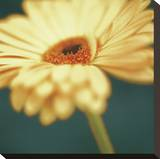 Gerbera on Turquoise Stretched Canvas Print by Jane Ann Butler