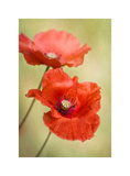 Papaver Passion Prints by Mandy Disher