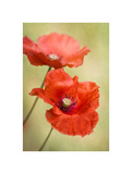 Papaver Passion Posters by Mandy Disher