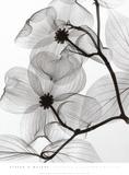 Steven N. Meyers - Dogwood Blossoms Positive Plakát