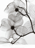 Dogwood Blossoms Positive ポスター : スティーヴン N. マイヤーズ