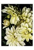 Lemon Dahlias II Art by Rachel Perry