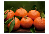 Satsuma Tangerines II Prints by Rachel Perry