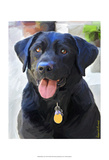 Black Lab Prints by Robert Mcclintock