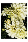 Lemon Dahlias I Posters by Rachel Perry
