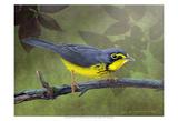 Canada Warbler Art par Chris Vest