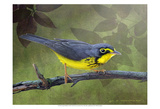 Canada Warbler Posters by Chris Vest