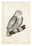 Snowy Owl Giclee Print by John Selby