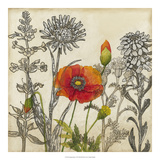 Emerging Poppy Giclee Print by Megan Meagher