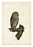Little Owl Giclee Print by John Selby