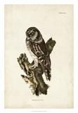 Tengmalm's Owl Giclee Print by John Selby