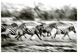 Stampeding Zebra Giclee Print by Colby Chester