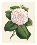 Antique Camellia IV Giclee Print by  Van Houtte