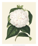Antique Camellia I Giclee Print by  Van Houtte
