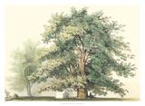 Majestic Oak Wydruk giclee