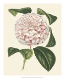 Antique Camellia III Giclee Print by  Van Houtte