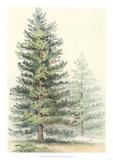 Majestic Pine I Giclee Print