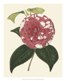 Antique Camellia II Giclee Print by  Van Houtte