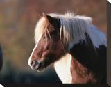Shetland pony Stretched Canvas Print
