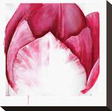 Samba Tulip Bloom Stretched Canvas Print by Miranda York