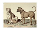 The Mastiff Giclee Print by Sydenham Teast Edwards