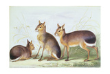From 'The Knowsley Menagerie', January 16th 1845 Giclee Print by Benjamin Waterhouse Hawkins