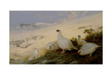 Ptarmigan, 1903 Giclee Print by Archibald Thorburn
