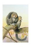 Eulemur Mongoz, November 1851 Giclee Print by Joseph Wolf