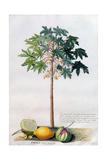 Pawpaw Tree, 1742 Giclee Print by Georg Dionysius Ehret