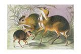 From 'The Knowsley Menagerie', August 1845 Giclee Print by Benjamin Waterhouse Hawkins