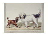 The Small Rough Water Dog or Poodle and the Large Rough Water Dog Giclee Print by Sydenham Teast Edwards