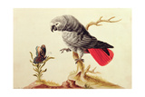 African Grey Parrot Giclee Print by Sarah Stone