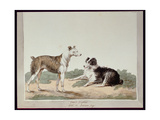 Cur or Drovers Dog Giclee Print by Sydenham Teast Edwards
