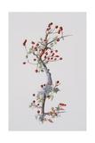 Fruiting Hawthorn, 1996 Giclee Print by Rebecca John